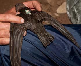 Black Swift with Geolocator