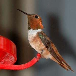 Rufous Humingbird