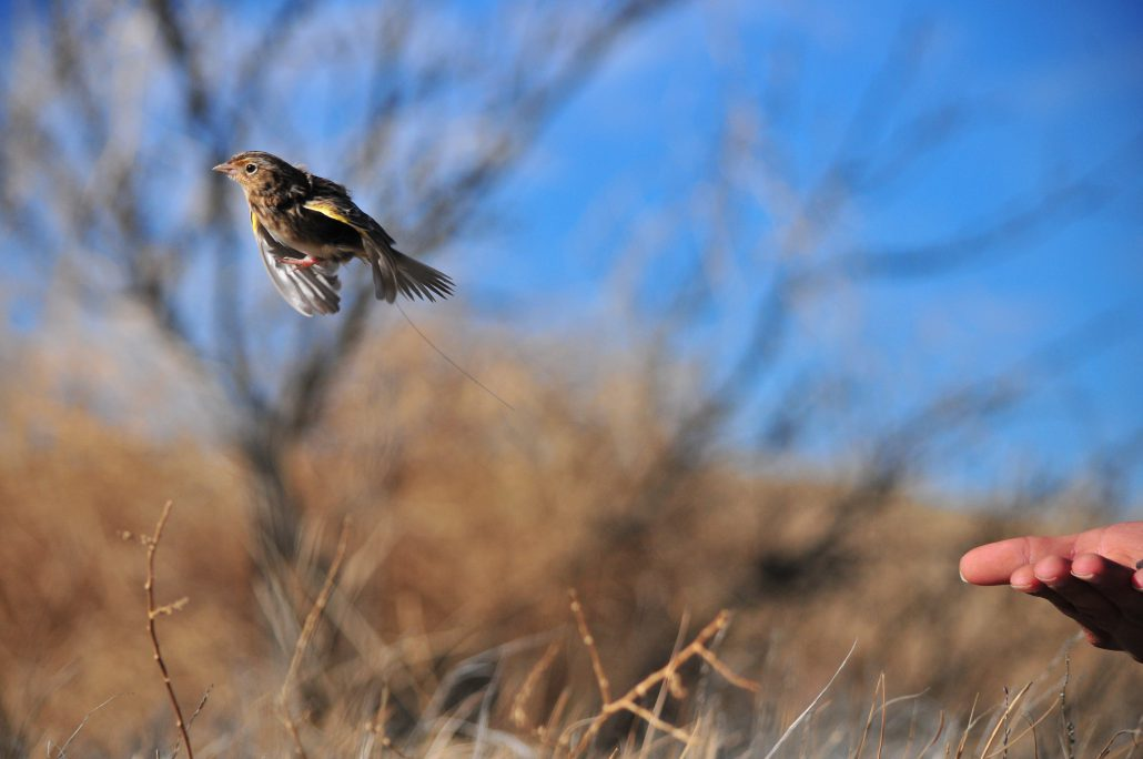 Grasshopper Sparrow flying