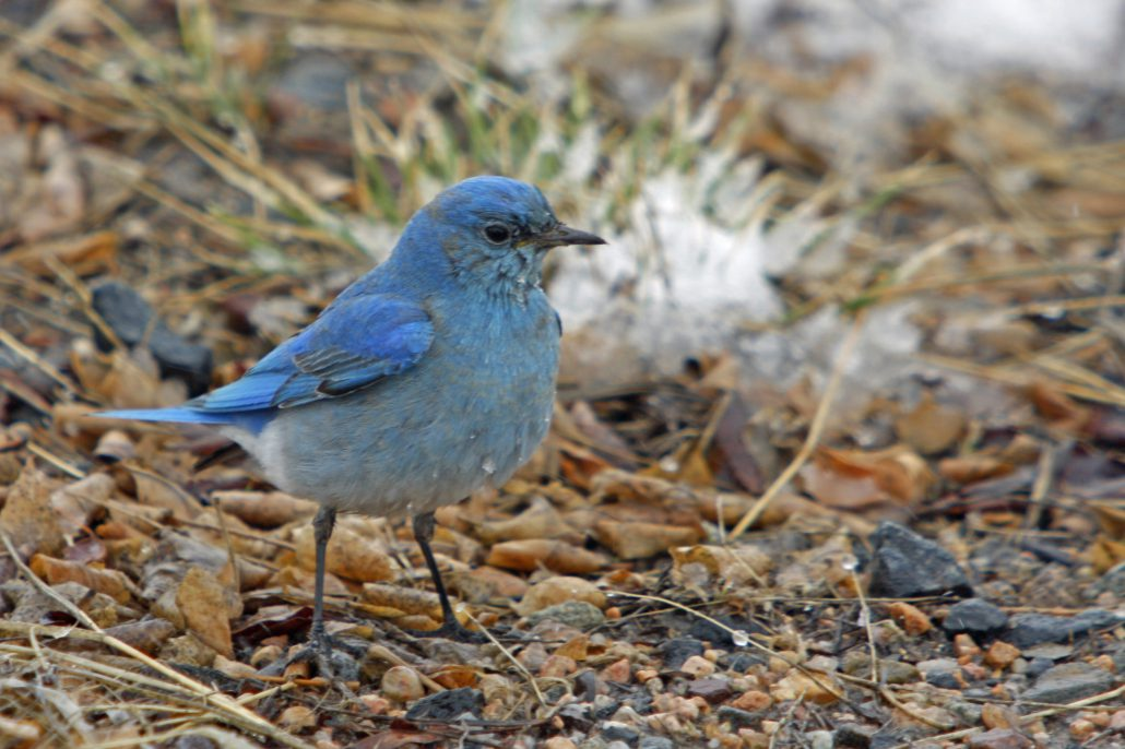 Mountain Bluebird by John Carr