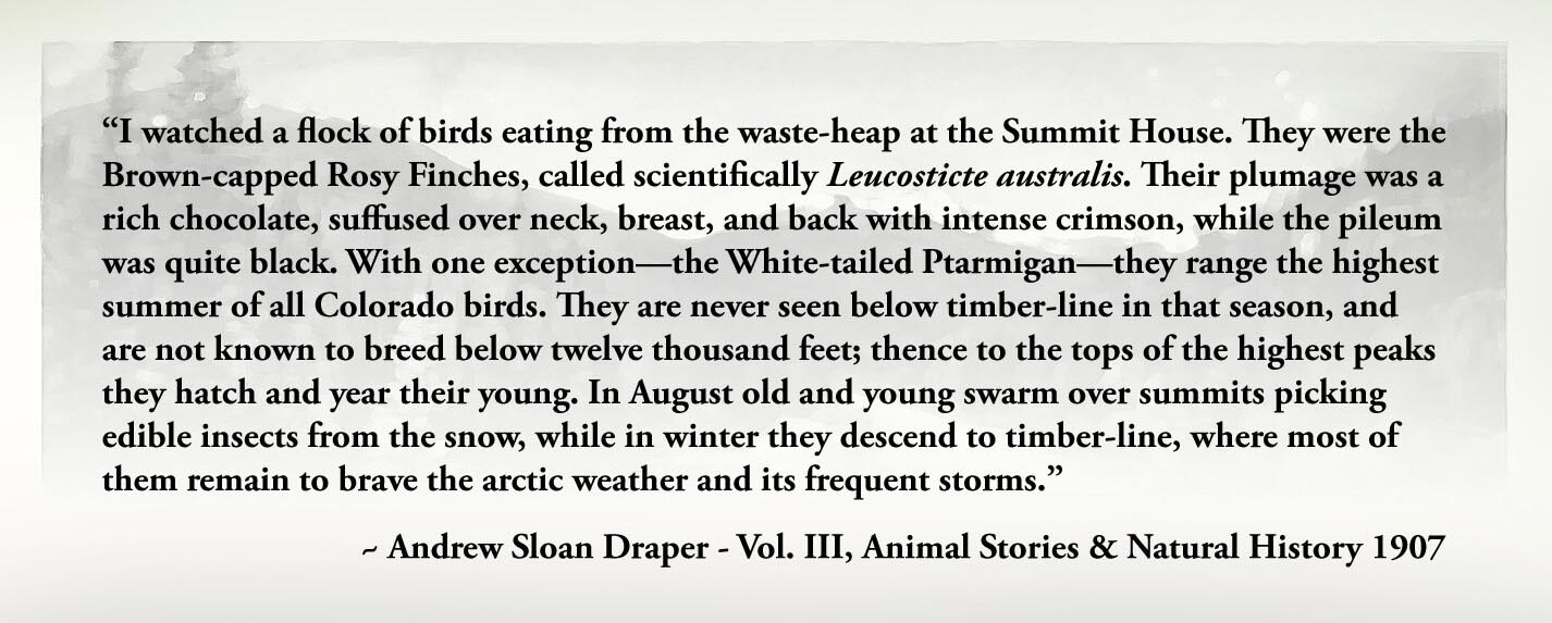 """""""I watched a flock of birds eating from the waste-heap at the Summit House. They were the Brown-capped Rosy Finches, called scientifically Leucosticte australis. Their plumage was a rich chocolate, suffused over neck, breast, and back with intense crimson, while the pileum was quite black. With one exception—the White-tailed Ptarmigan—they range the highest summer of all Colorado birds. They are never seen below timber-line in that season, and are not known to breed below twelve thousand feet; thence to the tops of the highest peaks they hatch and year their young. In August old and young swarm over summits picking edible insects from the snow, while in winter they descend to timber-line, where most of them remain to brave the arctic weather and its frequent storms."""" ~ Andrew Sloan Draper - Vol. III, Animal Stories & Natural History 1907"""