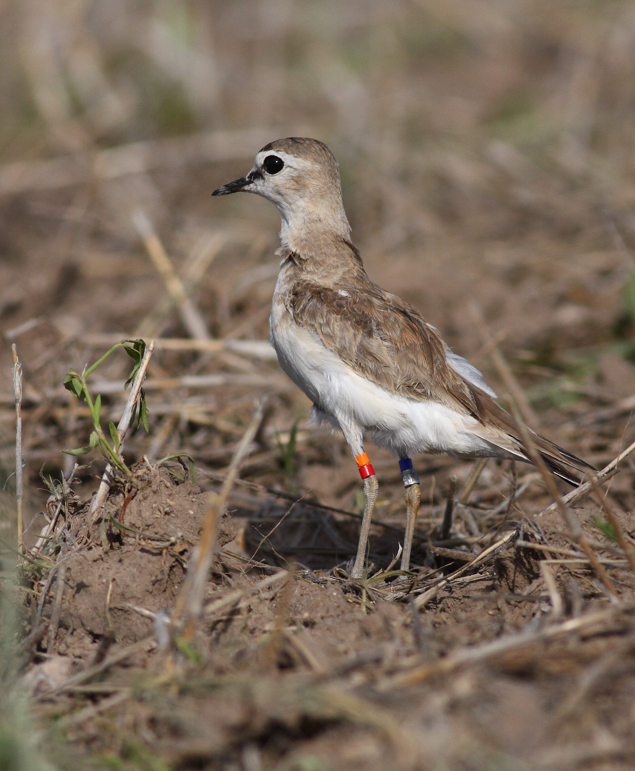Banded Mountain Plover. Photo: Colin Woolley