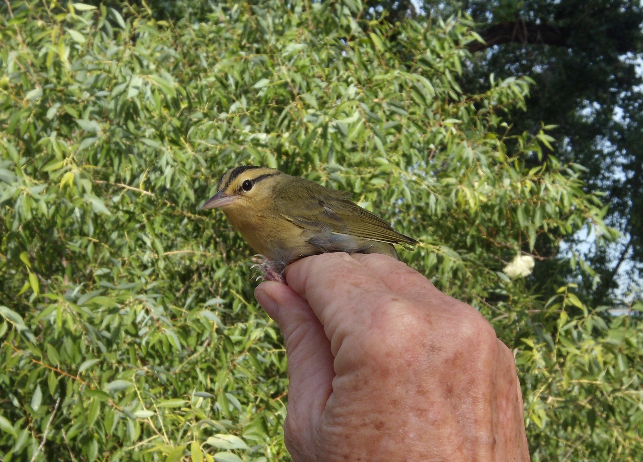 Worm-eating Warbler photo by Bird Conservancy of the Rockies