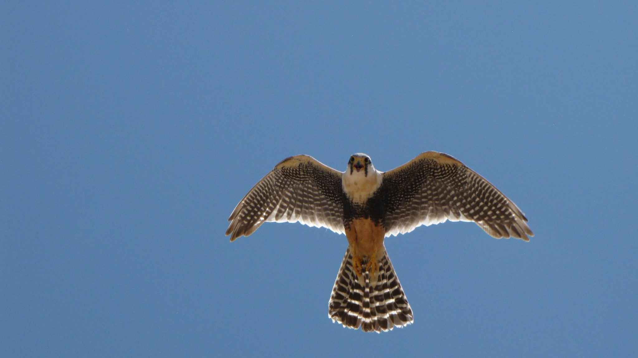 Photo of an Aplomado Falcon