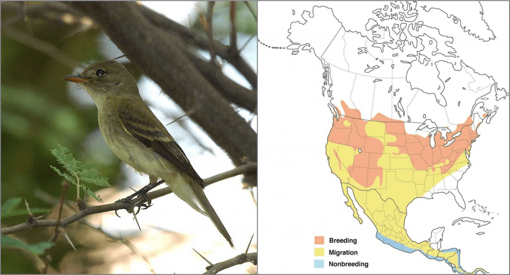 "Southwestern Willow Flycatcher, Photo: USFWS Pacific Southwest Region. Migration map by Cornell Lab's ""All About Birds""."