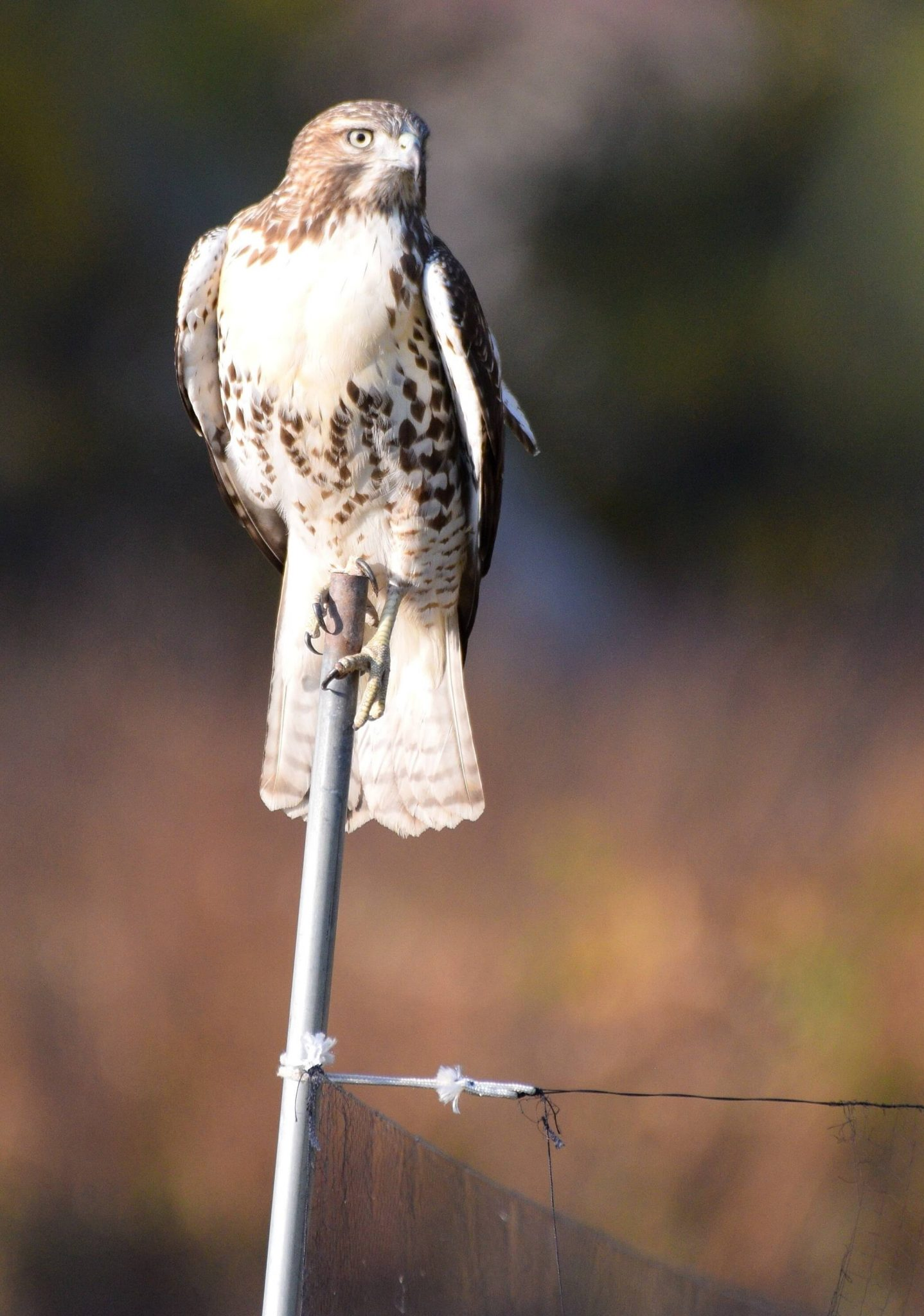 Red-tailed Hawk (Band #1947-47638)