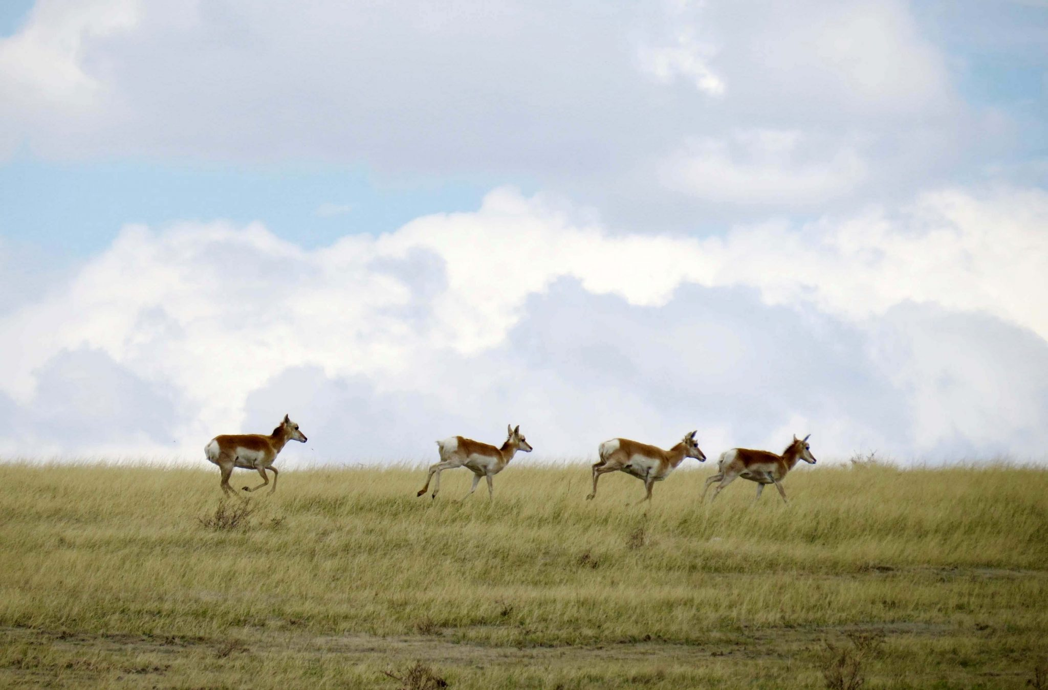 Pronghorn, a symbol of the grasslands. | Photo: Jessie Reese