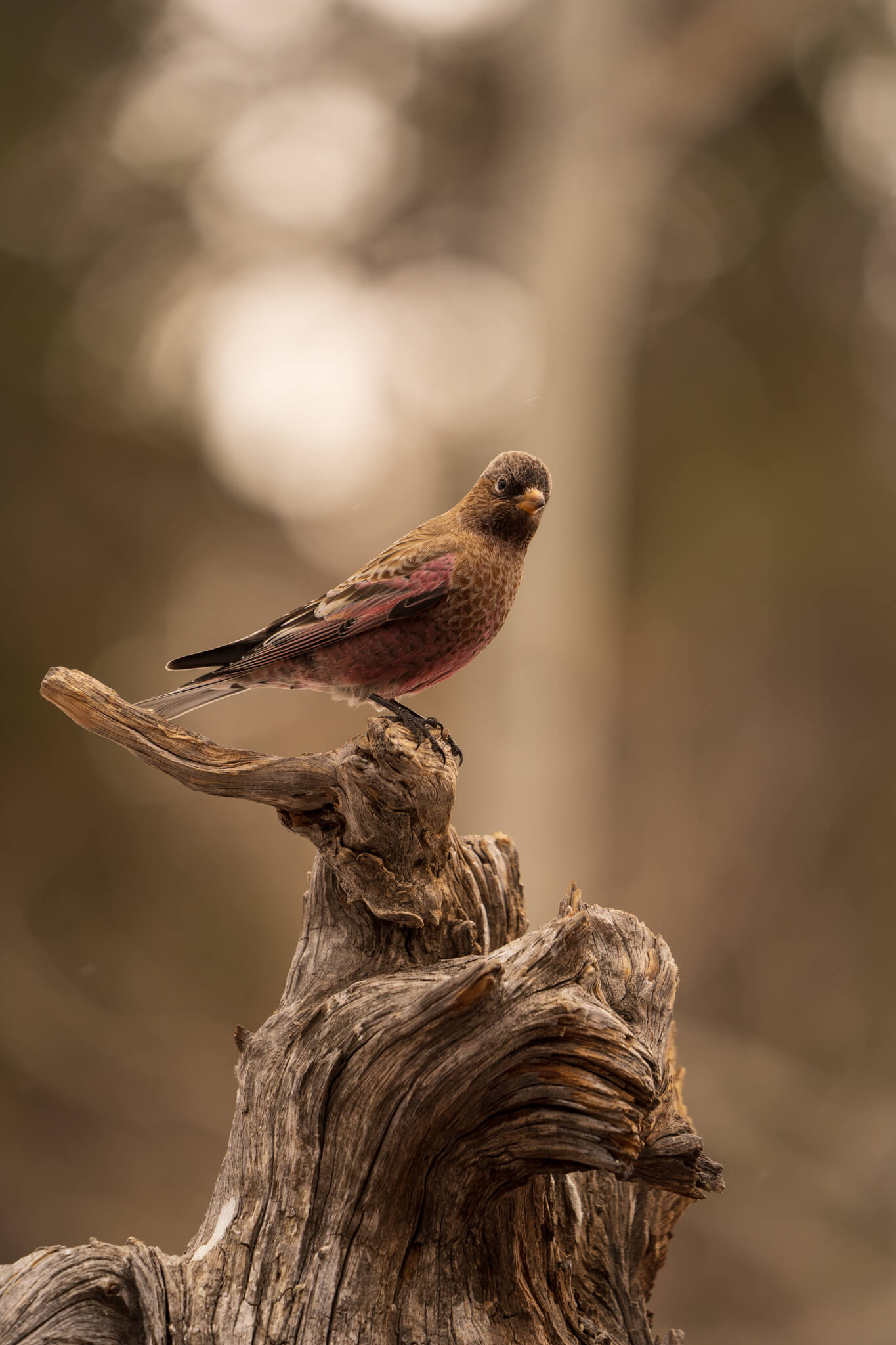 Brown-capped rosy-finch, Tarryall, CO, January 10, 2021 - Ryder