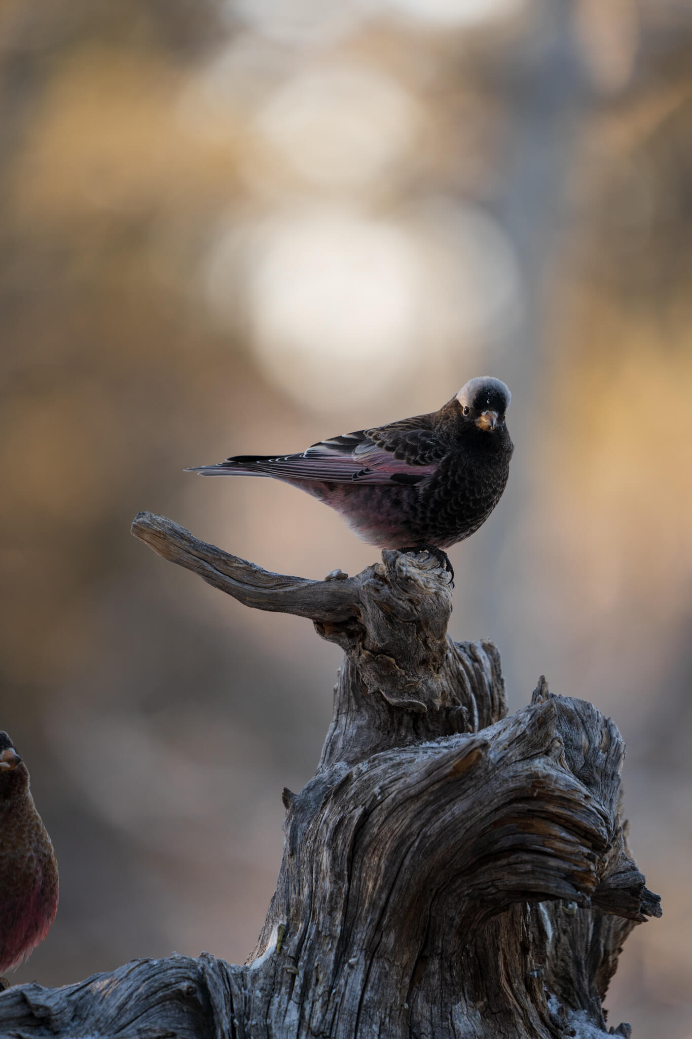 Black Rosy-Finch, Tarryall, CO, January 10, 2021 | Photo: Brandt Ryder