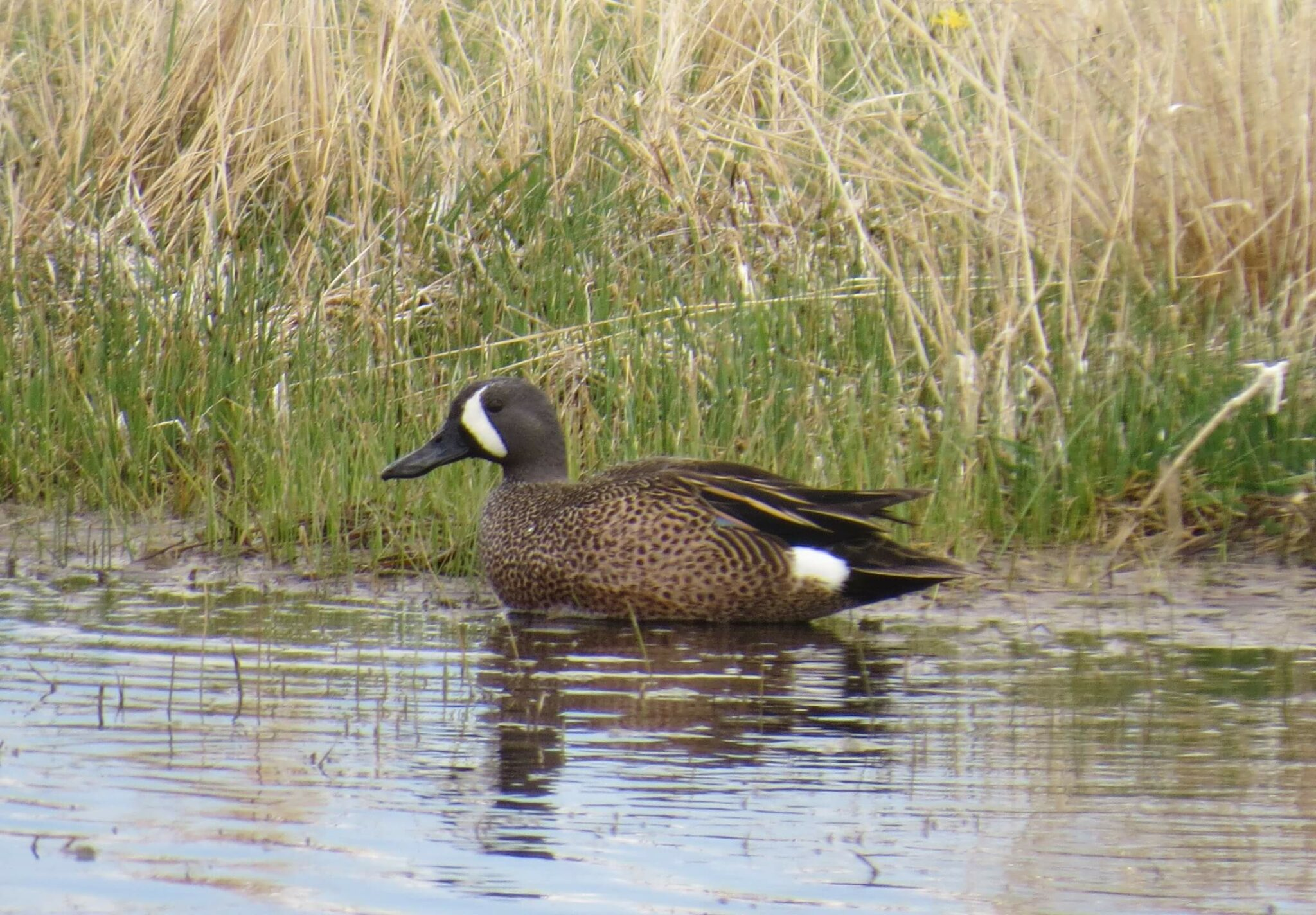 Blue-winged Teal. Photo: Jessie Reese