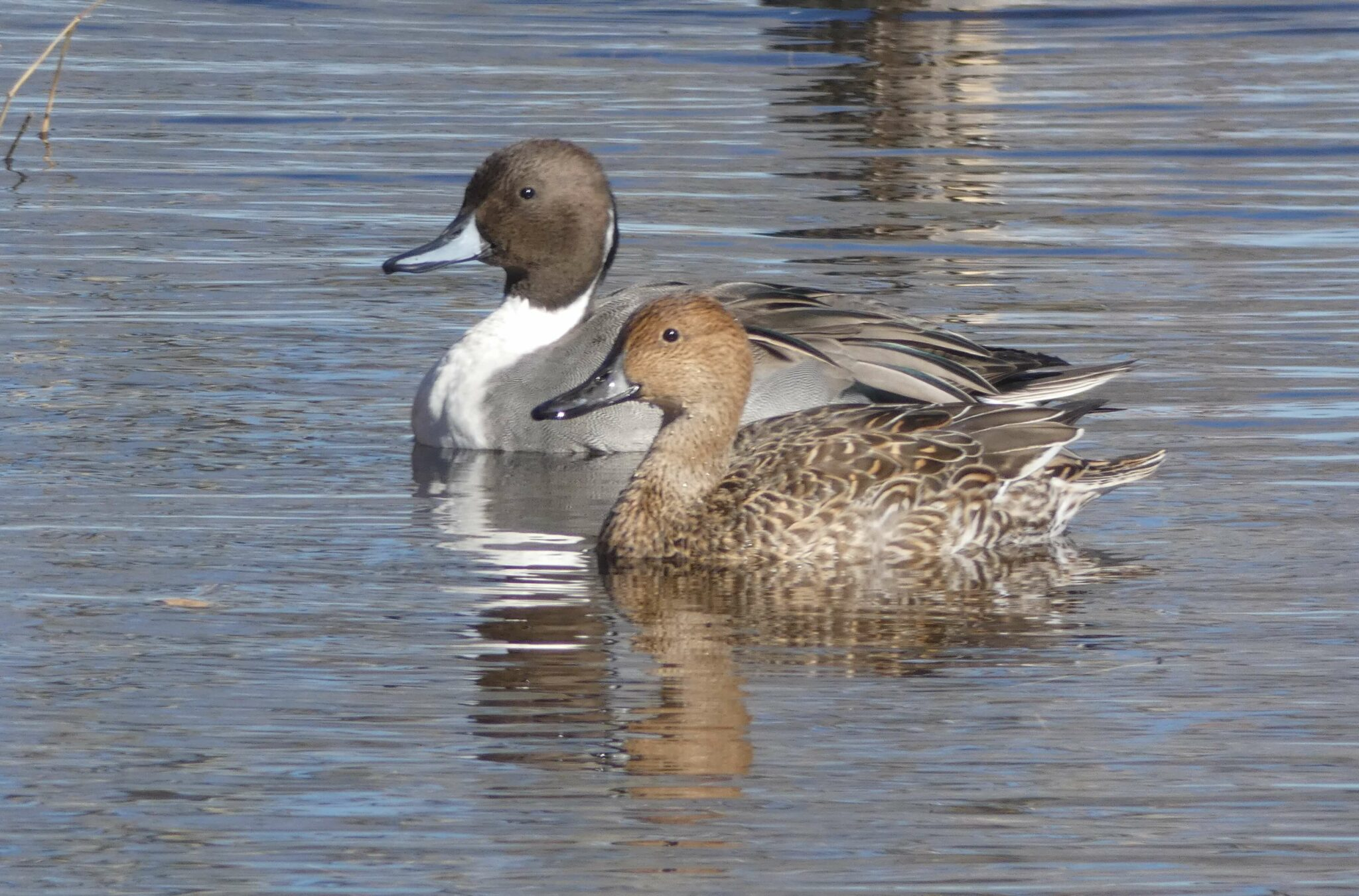 Northern Pintail. Photo: Christopher Rustay, Playa Lakes Joint Venture